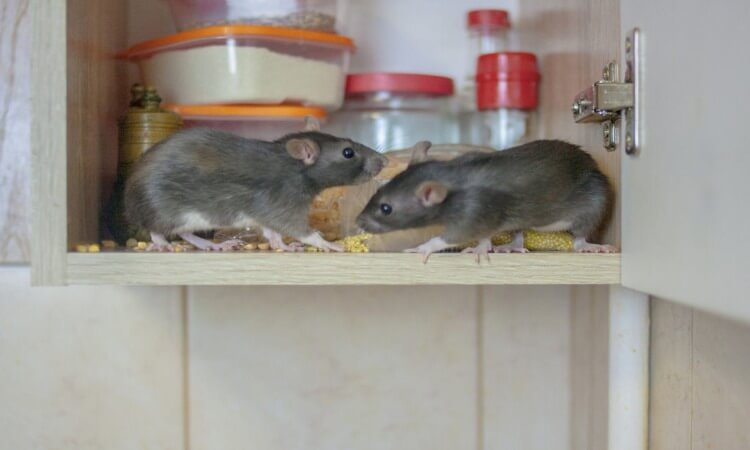 How To Get Rid Of Mice In Kitchen Cabinets